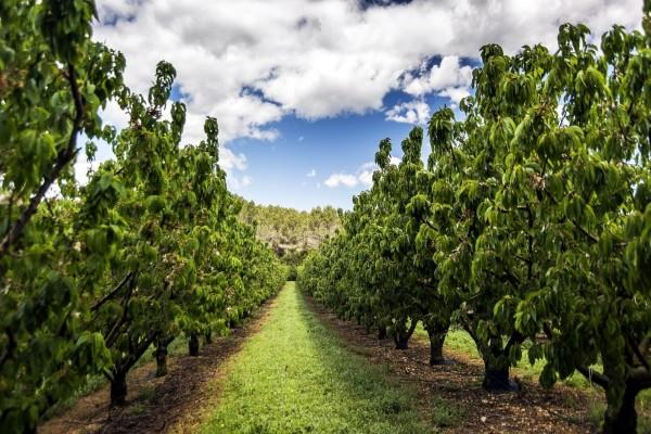 Plantación de cerezos