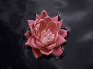 Una rosa en el agua