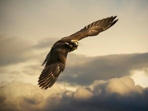 Águila en vuelo