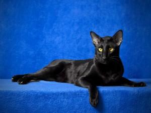 Postal: Gato oriental negro