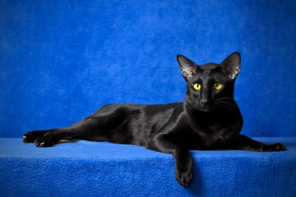 Gato oriental negro