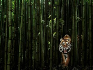 Tigre entre bambú