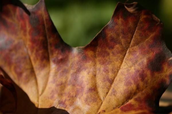 Hoja marrón por el otoño