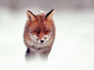 Postal: Zorro rojo en la nieve
