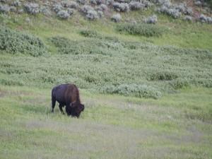 Pequeño bisonte comiendo hierba