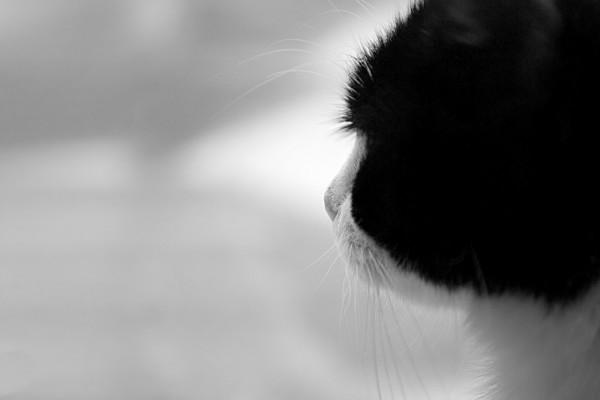 Gato blanco y negro
