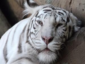 Postal: Tigre blanco