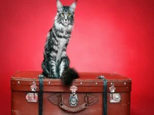 Gato sobre una maleta