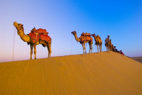 Hilera de camellos en el desierto