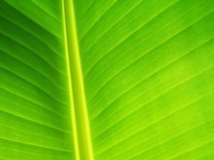 Postal: Hoja verde
