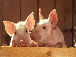 Postal: Dos cerdos
