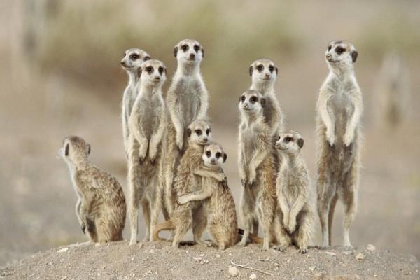 Unos suricatas divertidos