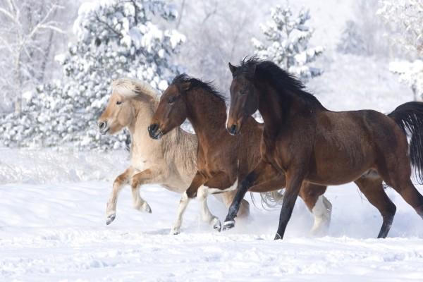 Tres preciosos caballos en la nieve