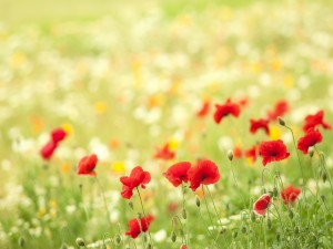 Amapolas y otras flores silvestres