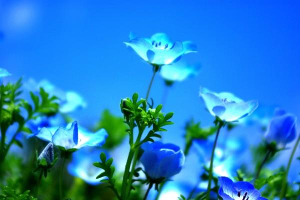 Bellas flores azules