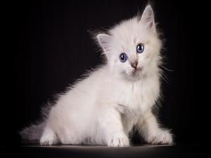Tierno gatito blanco