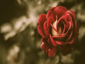 Postal: Bella rosa roja