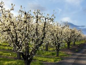 Postal: Manzanos florecidos