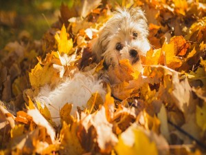 Postal: Perrito entre hojas secas