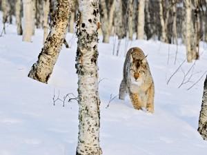 Postal: Lince Boreal (Lynx linx)