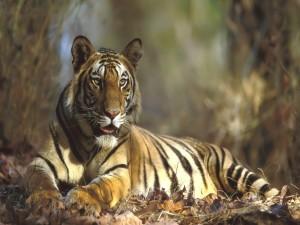 Postal: Un tigre acostado en las hojas