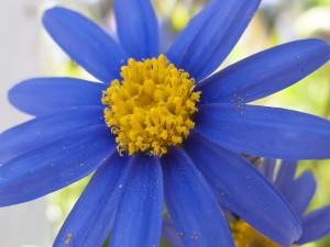 Polen en los pétalos de una flor azul
