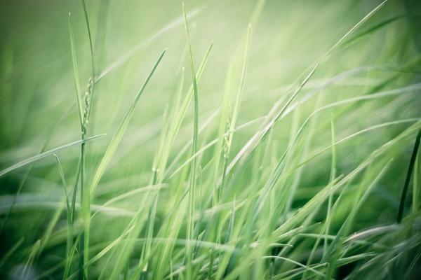 Hierba verde fina