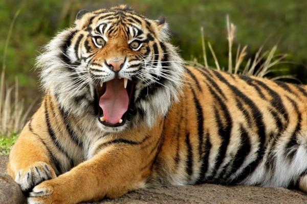 Tigre con la boca abierta