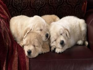 Postal: Perros dormidos en el sofá
