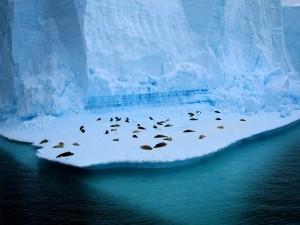 Postal: Focas durmiendo en el hielo
