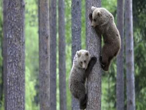 Dos osos pequeños subidos a un árbol