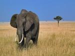 Un gran elefante solitario