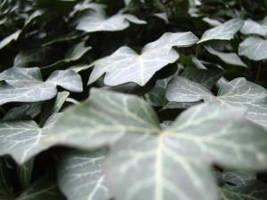 Planta hiedra (hedera)