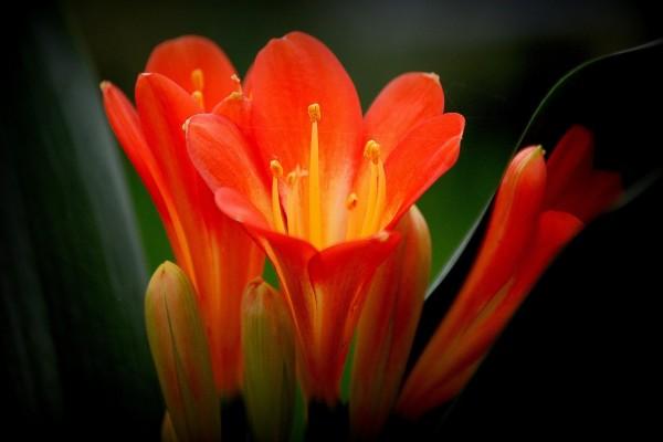 Flores y capullos color naranja