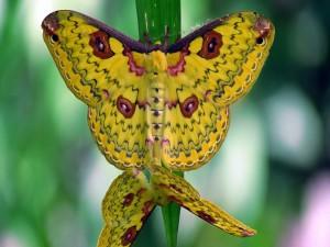 Mariposas doradas con dibujos multicolores