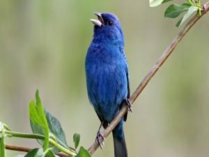 Pájaro azul cantando sobre una rama