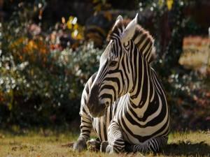 Cebra sentada sobre la hierba