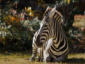 Postal: Cebra sentada sobre la hierba