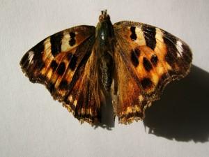 Postal: Una mariposa