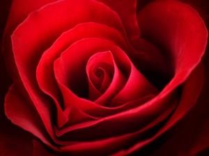 Pétalos de una rosa roja