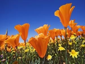 Amapolas naranjas y flores silvestres amarillas