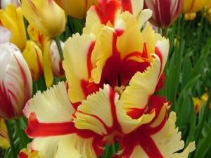 Postal: Tulipanes coloridos