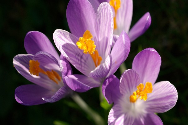 Azafranes color púrpura