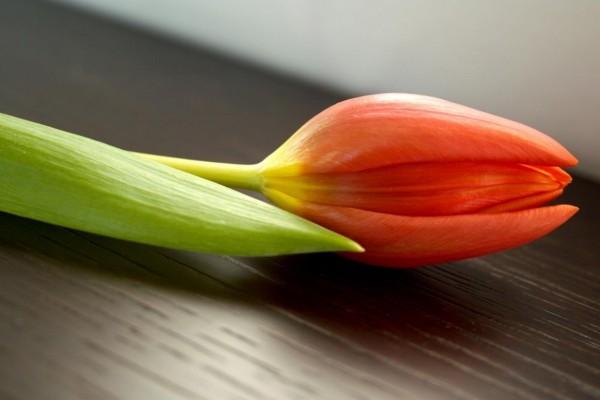 Pimpollo de tulipán naranja
