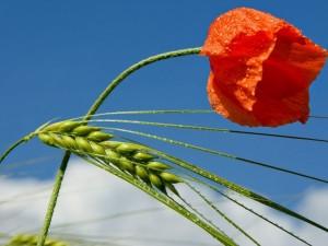 Una amapola y un trigo verde