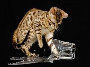 Gato jugando con un vaso de agua