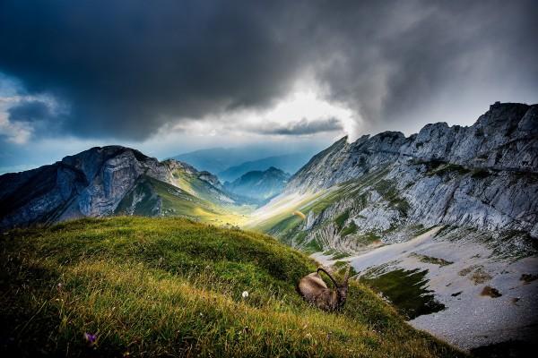 Capra ibex y parapente en las montañas