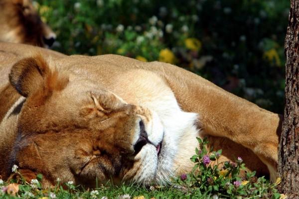 Leona dormida