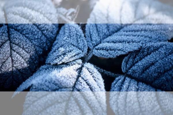 Hojas congeladas