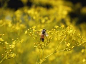 Postal: Abeja sobre unas flores amarillas